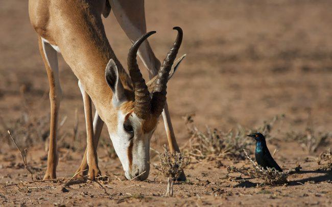 Antilopa skákavá (Antidorcas marsupialis), Kgalagadi Transfrontier Park, púšť Kalahari, Južná Afrika