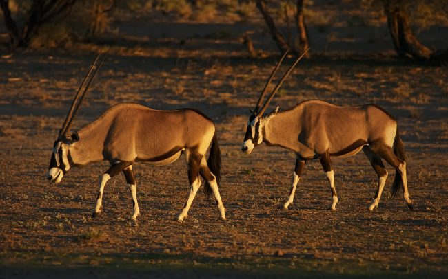 Oryx juhoafrický (Oryx gazella), Kgalagadi Transfrontier Park, púšť Kalahari, Južná Afrika