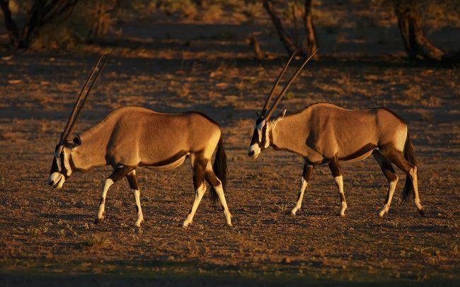 Gemsbok (Oryx gazella), Kgalagadi Transfrontier Park, Kalahari desert, South Africa