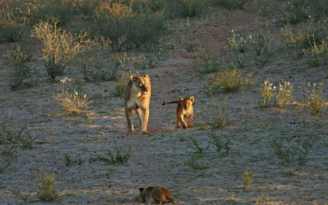 Oroszlán (Panthera leo), Kgalagadi Transfrontier Park, Kalahári sivatag, Dél-Afrika