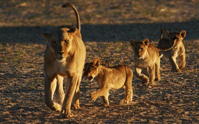 Lion (Panthera leo), Kgalagadi Transfrontier Park, Kalahari desert, South Africa