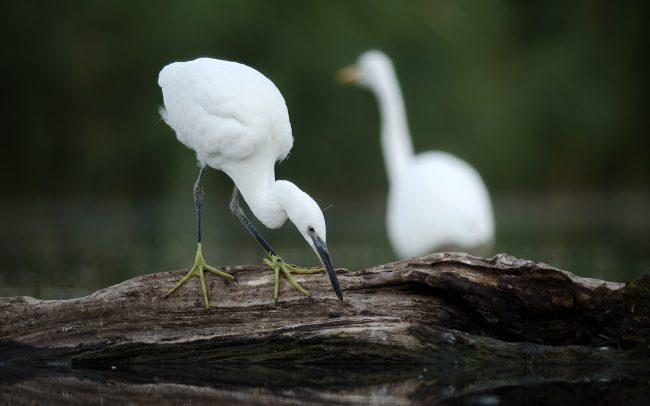 Little Egret (Egretta garzetta), Great Rye Island, Slovakia