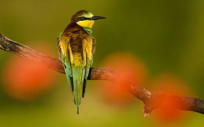 Včelárik zlatý (Merops apiaster)