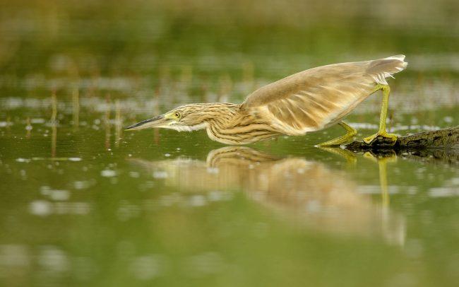 Squacco Heron (Ardeola ralloides), Great Rye Island, Slovakia
