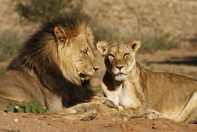 Lev púšťový (Panthera leo), Kgalagadi Transfrontier Park, púšť Kalahari, Južná Afrika