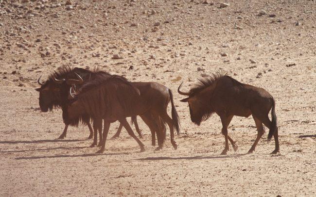 Csíkos gnú (Connochaetes taurinus), Kgalagadi Transfrontier Park, Kalahári sivatag, Dél-Afrika