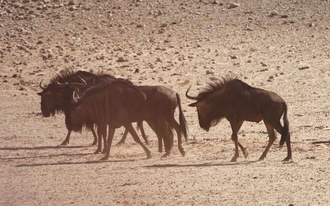 Pakôň pásavý (Connochaetes taurinus), Kgalagadi Transfrontier Park, púšť Kalahari, Južná Afrika