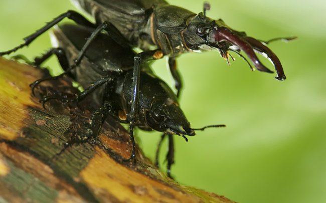 Stag Beetle (Lucanus cervus), Great Rye Island, Slovakia