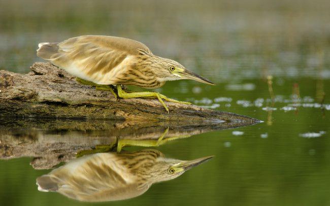 Čaplička vlasatá (Ardeola ralloides), Žitný ostrov
