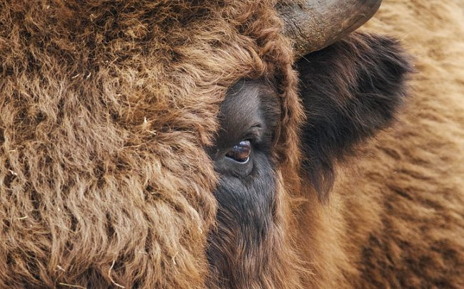 European Bison (Bison bonasus), Topoľčianky Bison Park, Slovakia