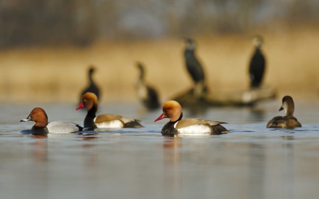 Red-crested Pochard, Common Pochard (left) (Netta rufina, Aythya ferina), Great Rye Island, Slovakia