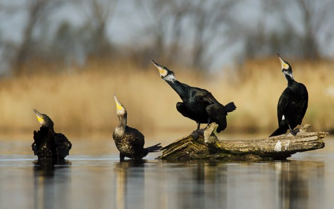 Great Cormorant (Phalacrocorax carbo), Great Rye Island, Slovakia