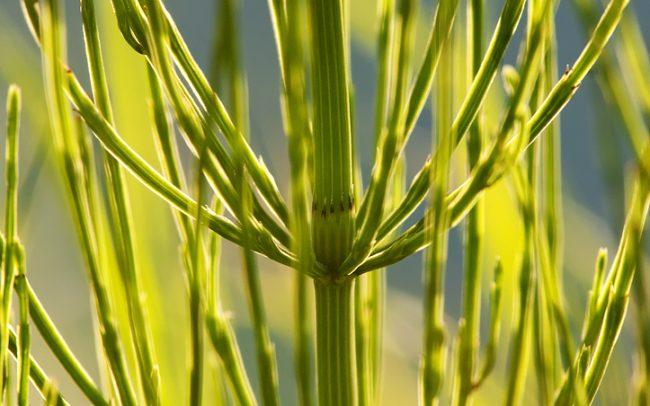 Praslička roľná (Equisetum palustre), Žitný ostrov