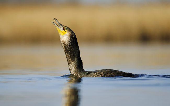 Great Cormorant (Phalacrocorax carbo), Great Rye Island, Slovakia