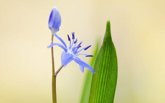 Scila dvojlistá (Scilla bifolia), Žitný ostrov