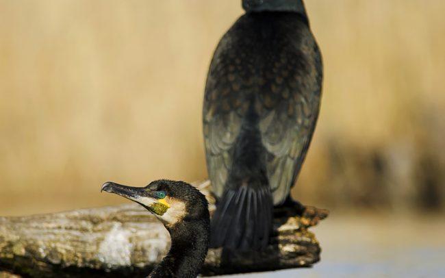 Kormorán veľký (Phalacrocorax carbo), Žitný ostrov