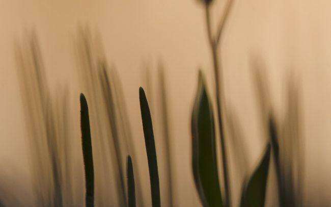 Tavaszi csillagvirág (Scilla bifolia), Csallóköz