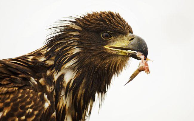 White-tailed Eagle (Haliaeetus albicilla), Hortobágy National Park, Hungary