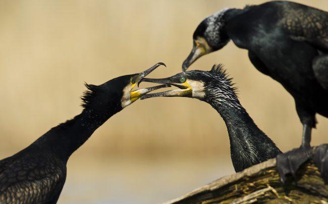 Nagy kárókatona (Phalacrocorax carbo), Csallóköz