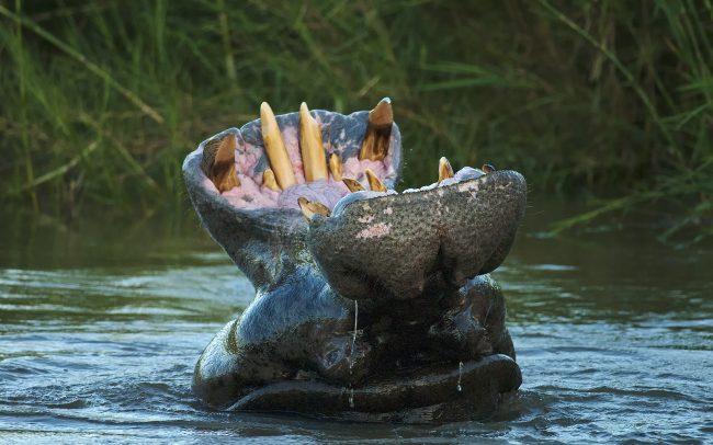 Nílusi víziló (Hippopotamus amphibius), Kruger Nemzeti Park, Dél-Afrika