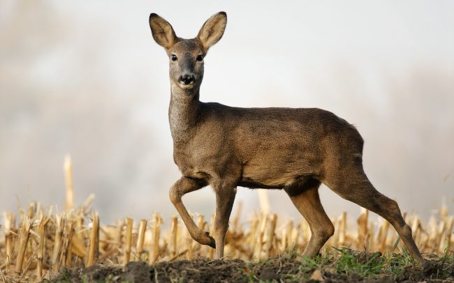 Roe Deer (Capreolus capreolus), Great Rye Island, Slovakia