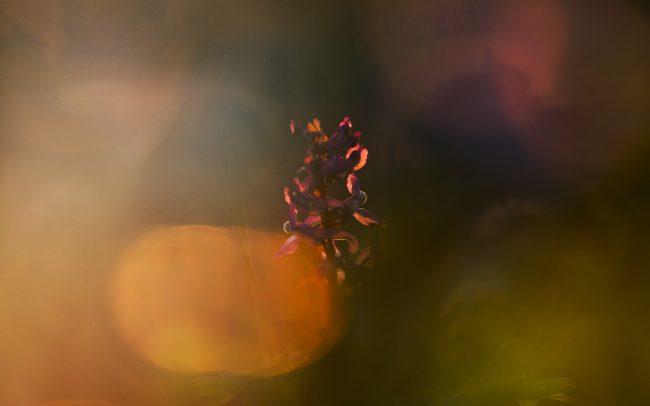 Hollowroot Birthwort (Corydalis cava), Great Rye Island, Slovakia