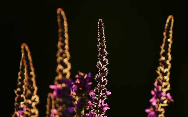 Purple Loosestrife (Lythrum salicaria), Great Rye Island, Slovakia