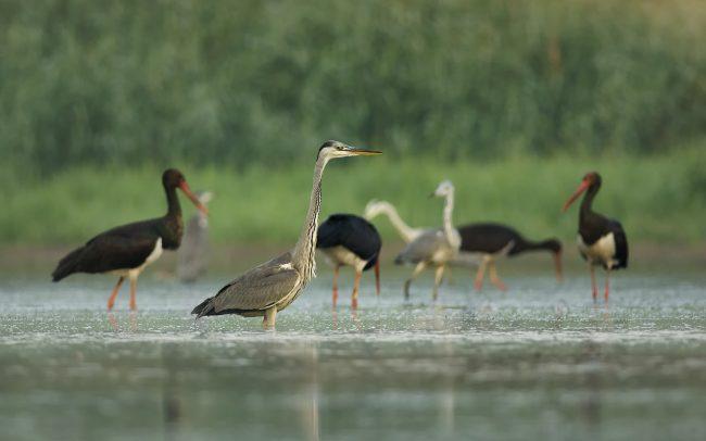Szürke gém (Ardea cinerea), Duna menti erdők Tájvédelmi Körzet, Csallóköz