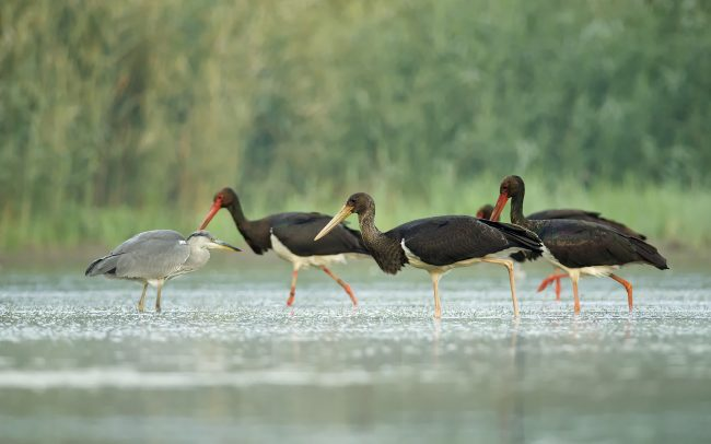 Bocian čierny (Ciconia nigra), CHKO Dunajské luhy, Žitný ostrov