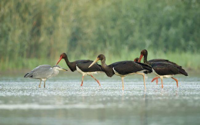 Black Stork (Ciconia nigra), Danube Floodplains Protected Landscape Area, Great Rye Island, Slovakia