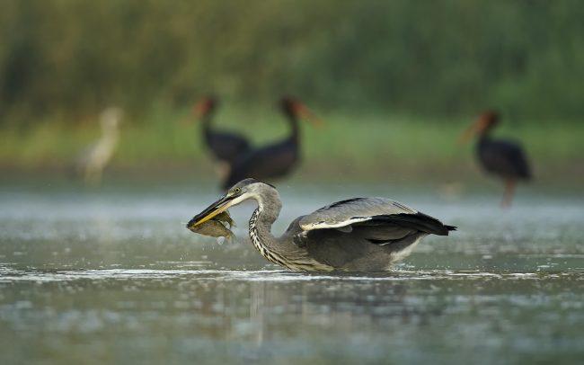 Volavka popolavá (Ardea cinerea), CHKO Dunajské luhy, Žitný ostrov
