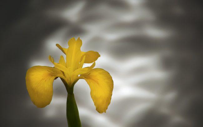 Kosatec žltý (Iris pseudacorus), Texel, Holandsko