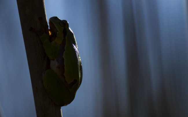 European Tree Frog (Hyla arborea), Danube Floodplains Protected Landscape Area, Great Rye Island, Slovakia