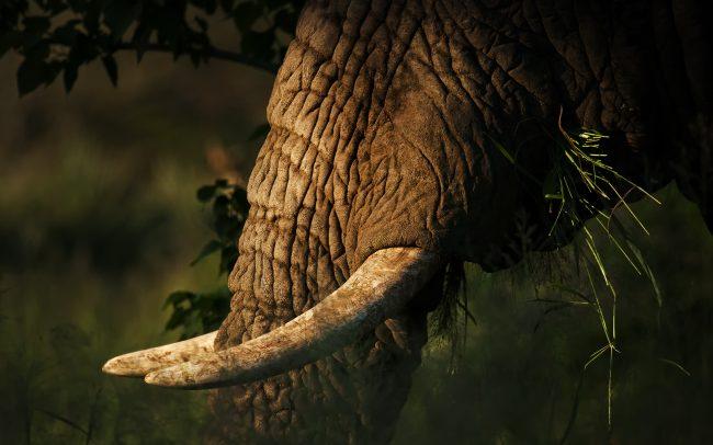 Slon africký (Loxodonta africana), Národný park Kruger, Južná Afrika