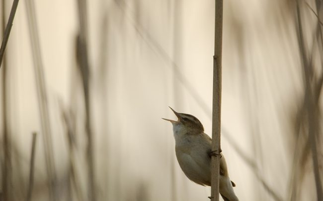 Sedge Warbler (Acrocephalus schoenobaenus), Great Rye Island, Slovakia