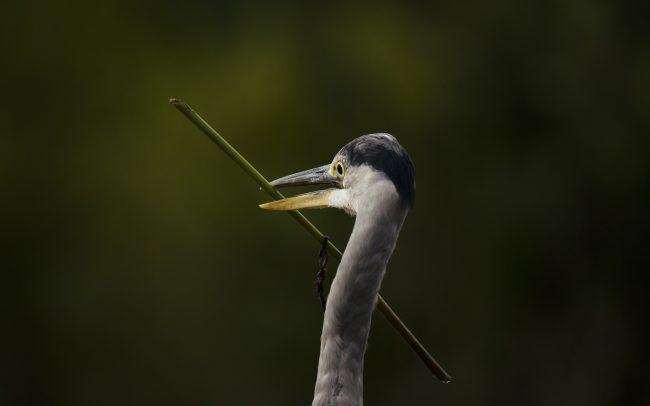 Volavka popolavá (Ardea cinerea), Žitný ostrov