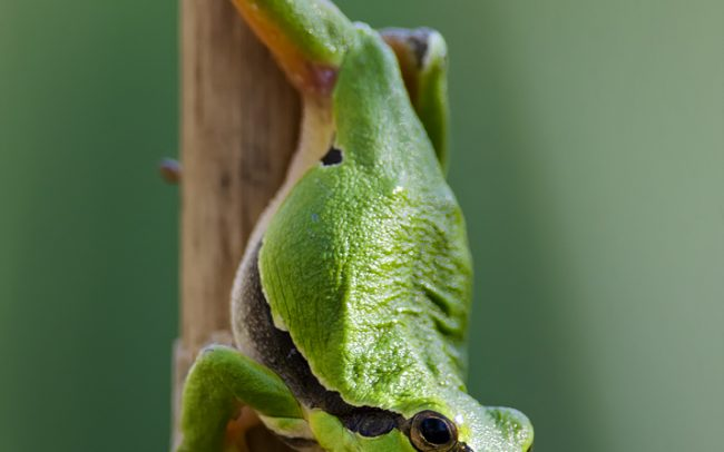 European Tree Frog (Hyla arborea), Danube Floodplains Protected Landscape Area, Great Rye Island, Slovakia