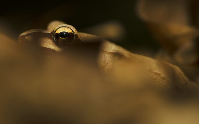 Agile Frog (Rana dalmatina), Great Rye Island, Slovakia