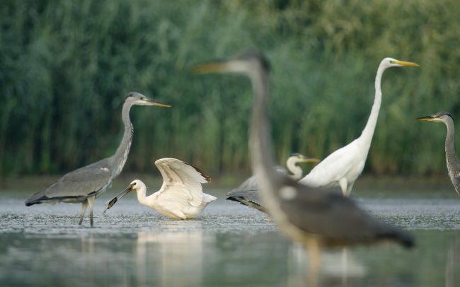 Eurasian Spoonbill (Platalea leucorodia), Danube Floodplains Protected Landscape Area, Great Rye Island, Slovakia