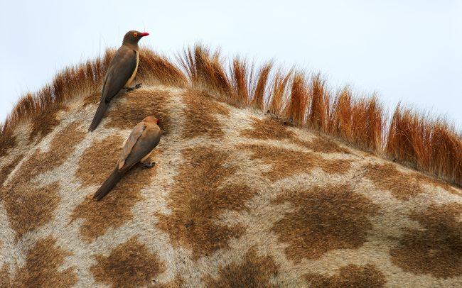 Kľuváč červenozobý (Buphagus erythrorhynchus), Národný park Kruger, Južná Afrika