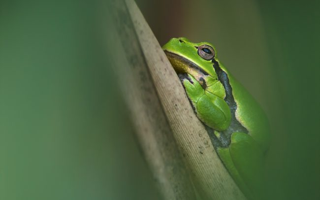 European Tree Frog (Hyla arborea), Boronka-melléki Protected Landscape Area, Hungary