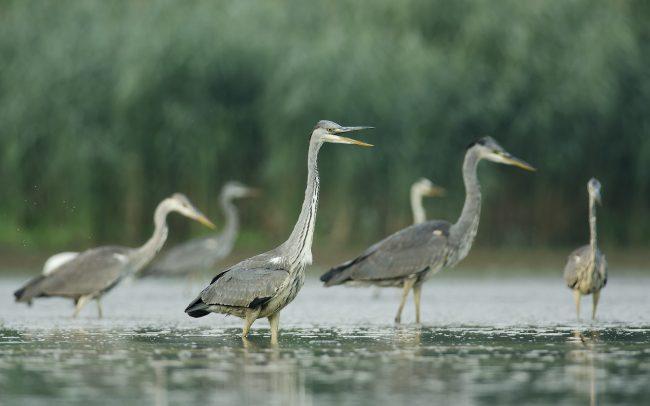 Grey Heron (Ardea cinerea), Danube Floodplains Protected Landscape Area, Great Rye Island, Slovakia