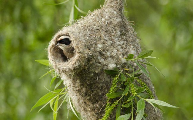 Kúdeľníčka lužná (Remiz pendulinus), CHKO Dunajské luhy, Žitný ostrov
