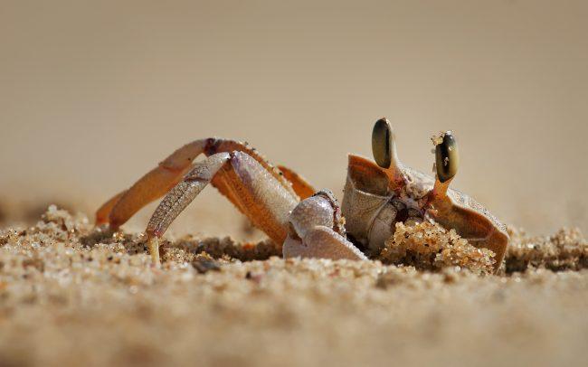 (Ocypode ryderi), Greater St. Lucia Wetland Park, Južná Afrika