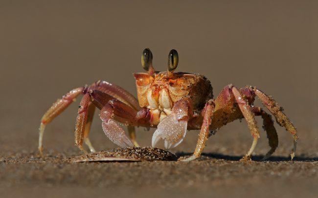 (Ocypode ryderi), Greater St. Lucia Wetland Park, Dél-Afrika