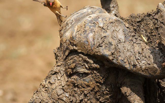 Piroscsőrű nyűvágó (Buphagus erythrorhynchus), Hluhluwe-Imfolozi Park, Dél-Afrika