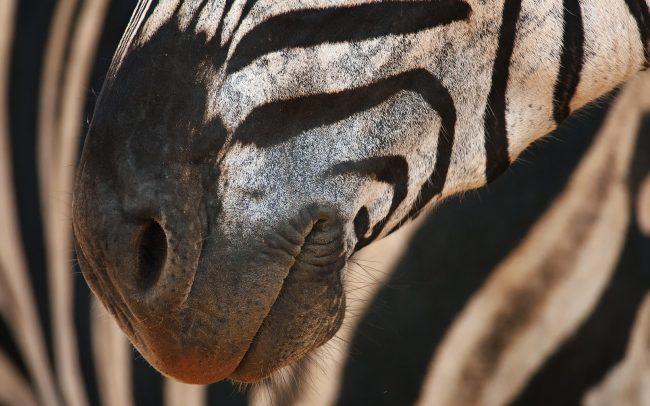 Plains Zebra (Equus quagga), Hluhluwe-Imfolozi Park, South Africa