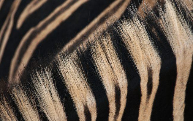 Alföldi zebra (Equus quagga), Hluhluwe-Imfolozi Park. Dél-Afrika