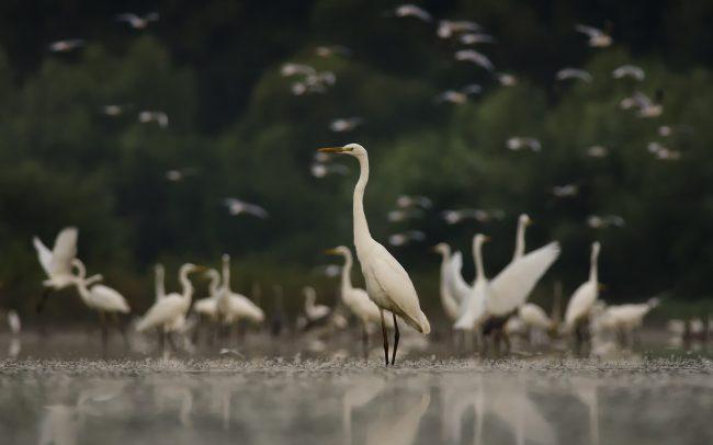 Nagy kócsag (Egretta alba), Duna menti erdők Tájvédelmi Körzet, Csallóköz