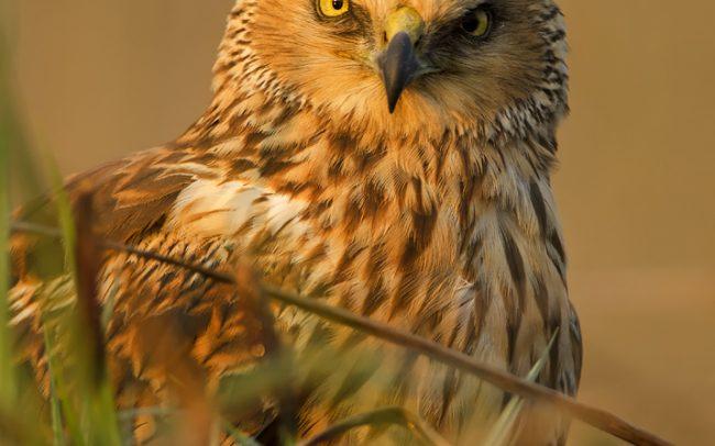 Western Marsh Harrier (Circus aeruginosus), Great Rye Island, Slovakia